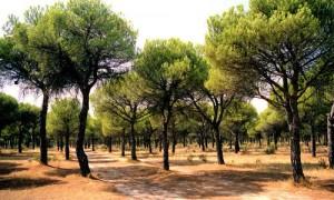 el pinar de Antequera