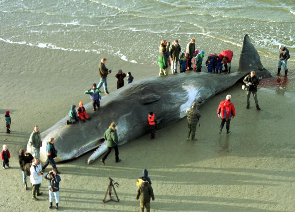 ballena-muerta-holanda-por-comer-plastico