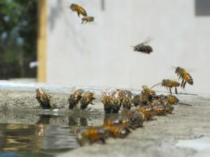 Las abejas beben