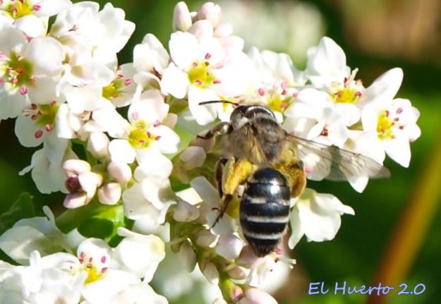 abeja-negra